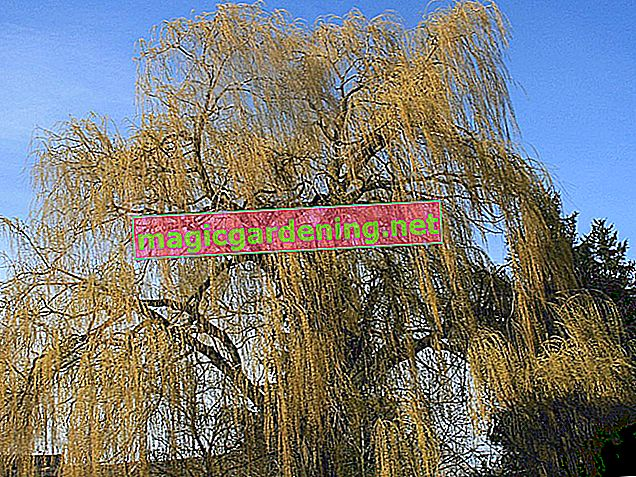 Cutting weeping willow