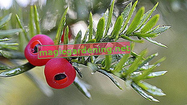 How poisonous is the yew tree?