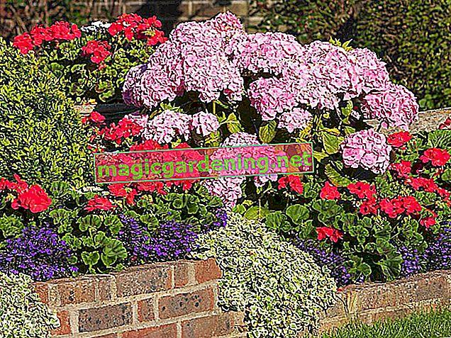 Planting geraniums: when?