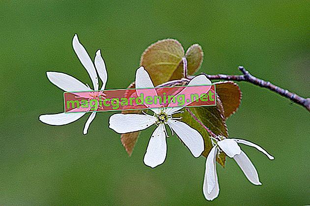Caring for magnificent magnolias properly