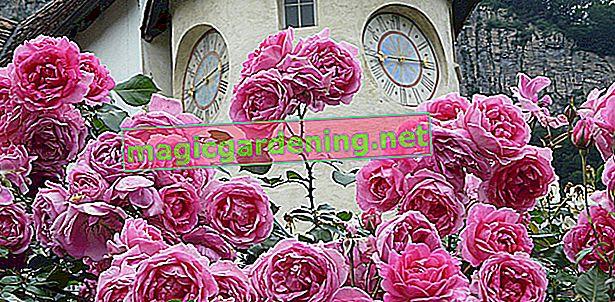 Uobičajene bolesti ruža: crni škrob