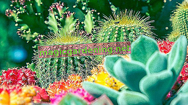 Caring for peyote cactus properly - tips on care