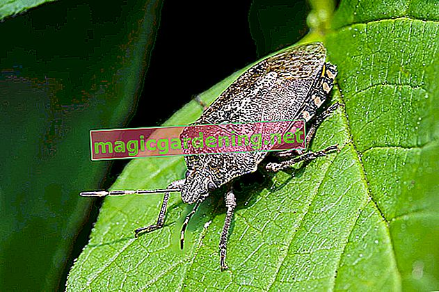 The gray garden bug: pest or beneficial insect?