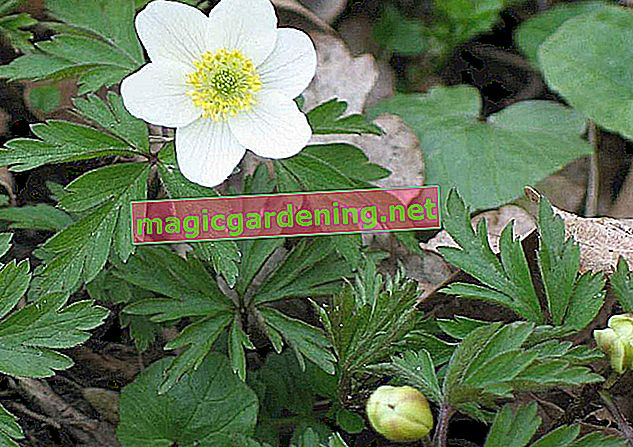 Planting and caring for anemone (anemone)
