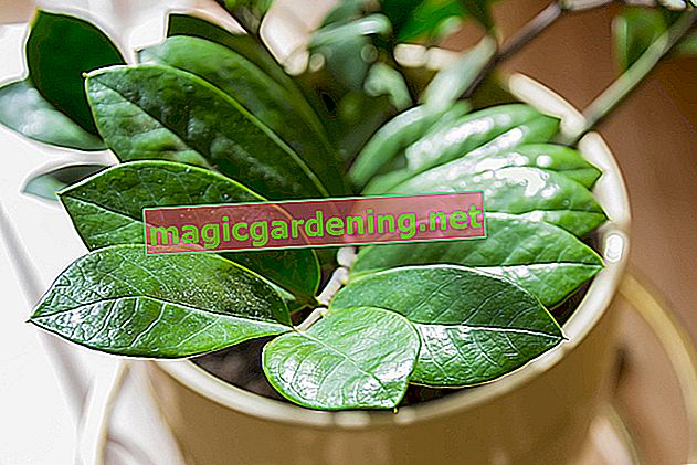 Zamioculcas: care tips (lucky feather)