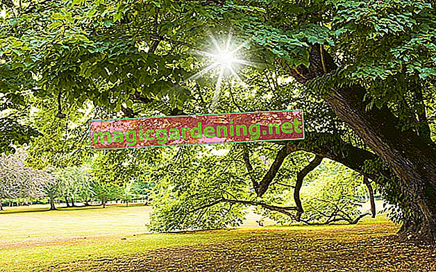 Yaprak dökmeyen ağaçlar genellikle dayanıklıdır