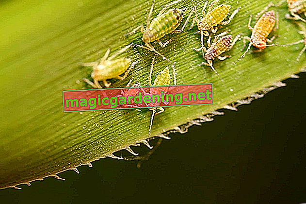 Fighting aphids - home remedies, beneficial insects and prevention