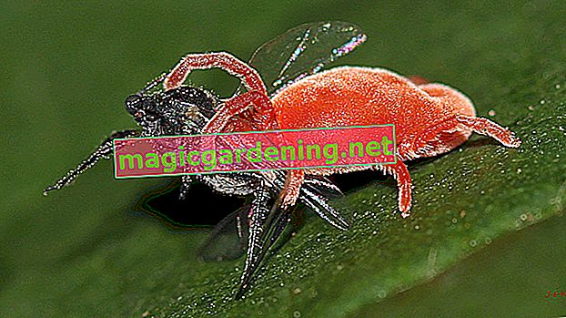 Is the red velvet mite dangerous or useful?