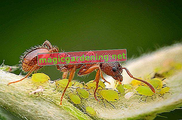 Karıncaları çevreye duyarlı ve güvenli bir şekilde uzaklaştırın