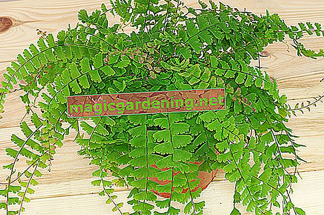 Maidenhair fern: care for it properly