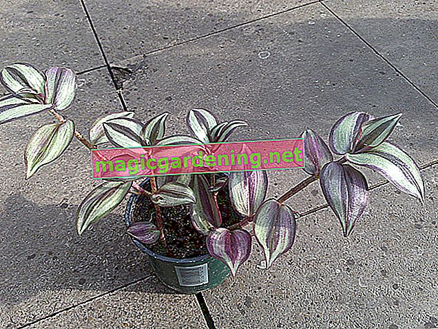 Tradescantia zebrina (zebra herb) - tips for care