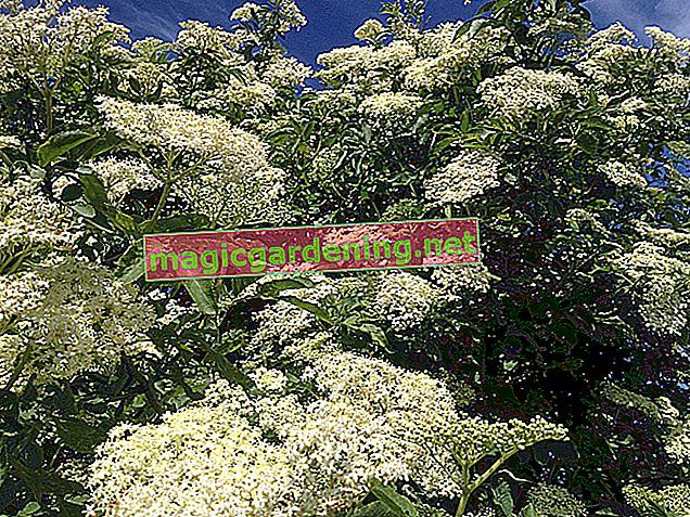 Easily propagate elderberries with cuttings