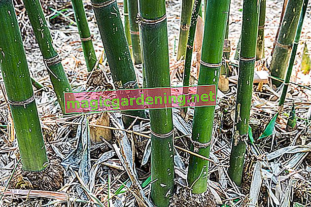 Rhizome barrier tames bamboo - this is how it works