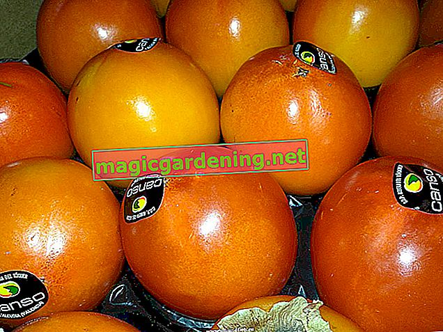 Where does persimmon come from?