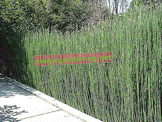 Plant reeds as a privacy screen