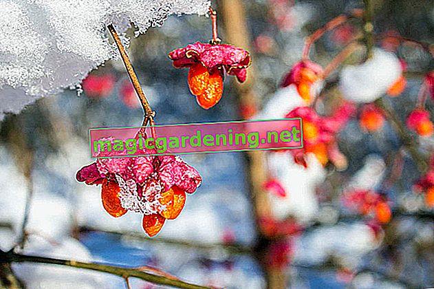Defne kirazının meyveleri: dekoratif ama ne yazık ki zehirli