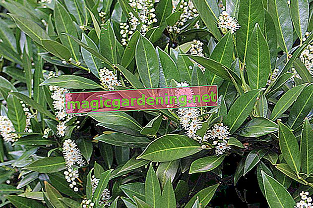 Cutting instructions for dwarf lilacs - when and how to cut correctly