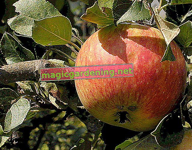 Determine the type of apple tree