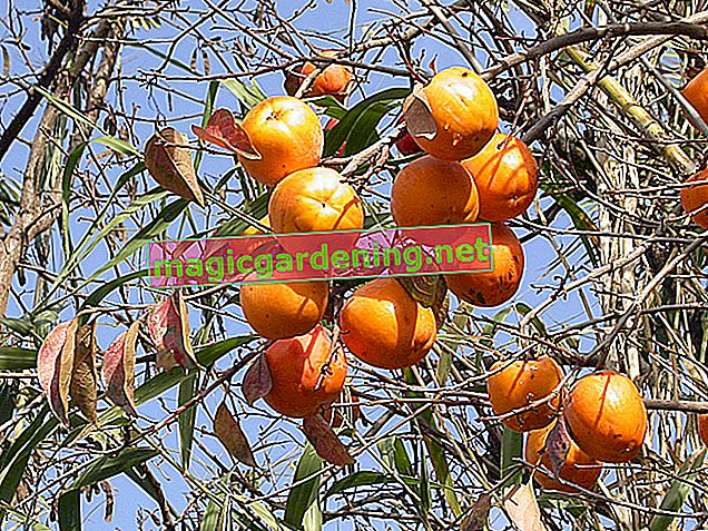 Persimmon tree in Germany