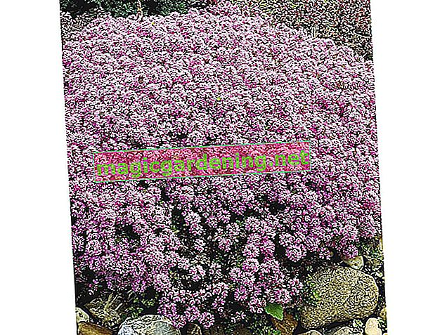 Thyme as a firm ground cover