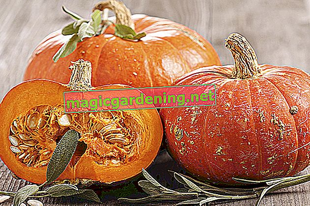 How to harvest Hokkaido pumpkin properly