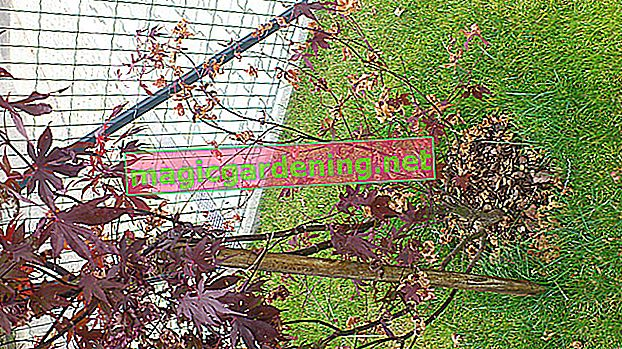 Japanese maple threatened by diseases such as verticillium wilt