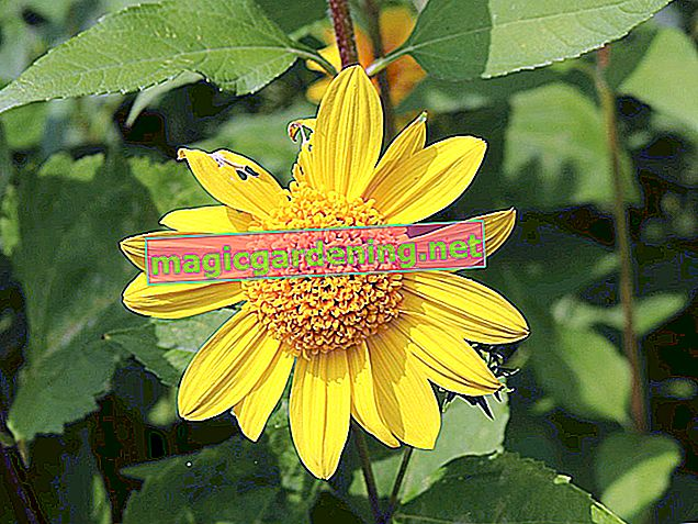 Hardy and long-lasting: sunflower perennials