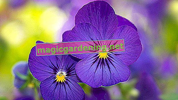 Plant and care for pansies