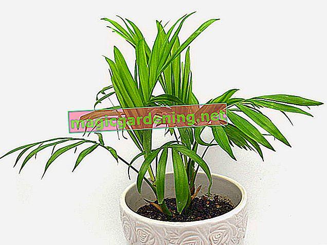 Dağ palmiyesi, houseplant için bakımı kolaydır.