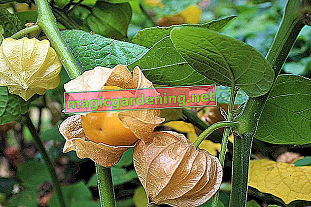 Coltivazione Physalis in Germania