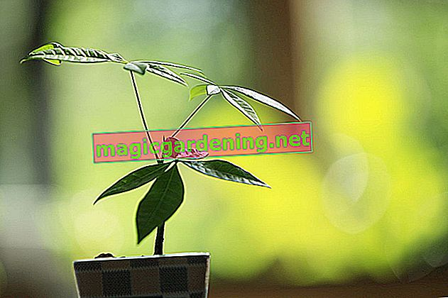 Tips for caring for Pachira aquatica (lucky chestnut)